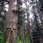 樹を見て文化に浸る、羽黒山参道と五重塔