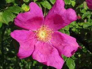 「北海道の花」ハマナス