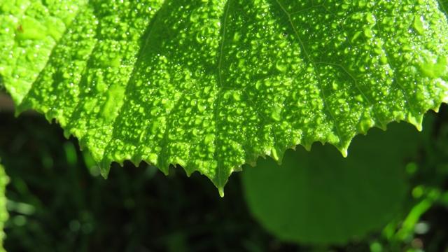 朝日にきらめくフキの葉の雫。なにげないショットだけれど、新緑と雫に命のイメージを感じます。