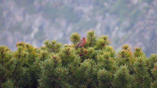 大雪を代表する鳥といえば、ギンザンマシコ。ハイマツの実をついばんでいました。これは雄。雌はオリーブ色が基調でこれがまたいい。