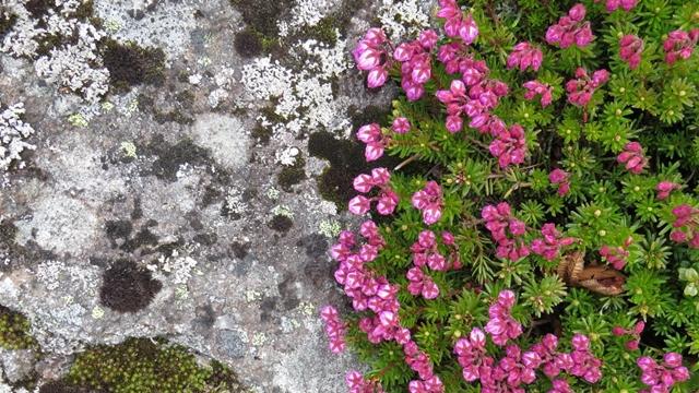 岩石にへばりつくエゾノツガザクラ。岩と花、白と赤のコントラストが目にしみます。