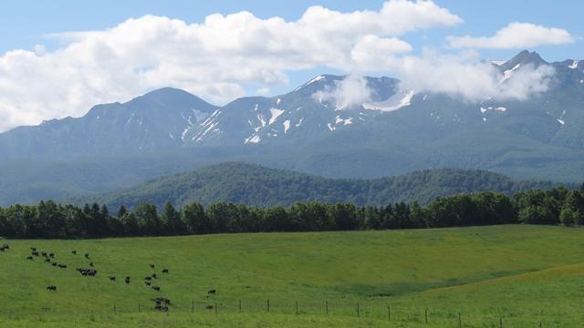 大雪森のガーデンからの大雪連峰の景観。草原に牛、山に雪、夏の青空。北海道の夏です。