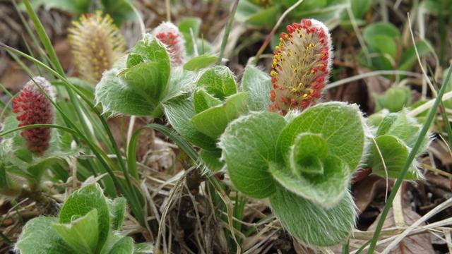 大雪の高山植物群は質量ともに世界有数。今回はポピュラーの花以外に目を向けて、タカネイワヤナギ、花が綺麗。