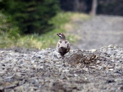 阿寒の林道で見かけるエゾライチョウ