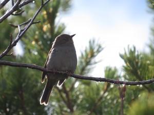 ルリビタキの雌。登山中の針葉樹林帯に多い。