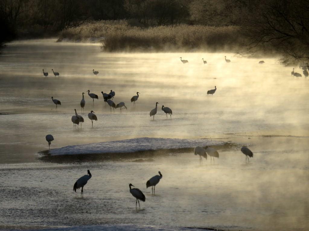 雪裡川のねぐらは日の出ころにはケアラシのなかのタンチョウが群れる