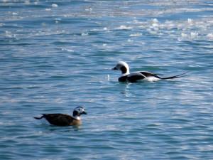 道外の方には憧れの海カモであるコオリガモのペア(左♀)