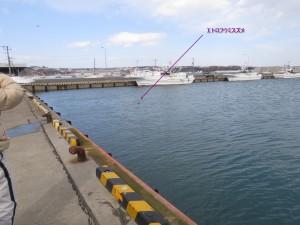 こんな近くで潜水採餌を繰り返すエトロフウミスズメ