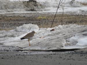 道路際の残雪を前にたたずむケリ