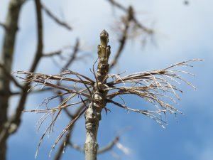 ヤチダモの雌木に新芽が。