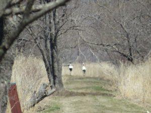 水溜りのエゾアカガエルを狙っていたタンチョウの夫婦。