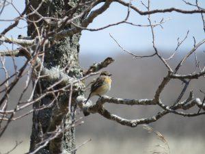 ノビタキ(♀)はヒバリの次くらいに参上する夏鳥。