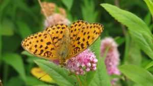 ホザキシモツケの花に乱舞するヒョウモンチョウの仲間(種類が多くて特定できない!)