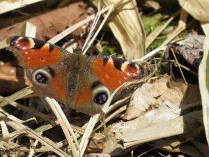 越冬から目覚めたクジャクチョウ。羽の傷みが…。