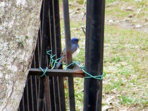 公園の柵の周りでうろうろしていたオオルリ。