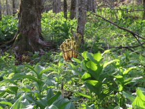 ヤマドリゼンマイが何やら内輪話。周りのバイケイソウは美味しそうだけれど毒草ですよ。