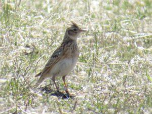 ヒバリは最初に渡ってくる早春を告げる夏鳥