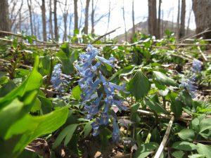 エゾエンゴサクがスプリングエフェメラル(春のささやき)を告げる。背後に硫黄山