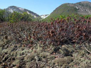 硫黄山周辺は強酸性土壌に生息する限られた植物が独自の世界をつくる。