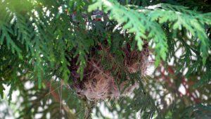 巣は細かな枝やビニールのような繊維もあって居心地よさそう