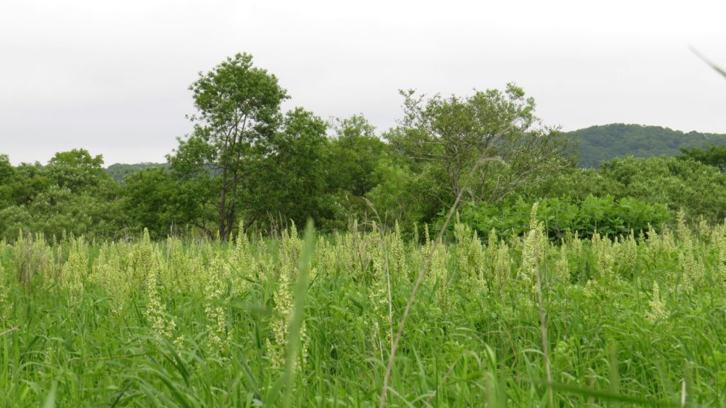 湿原に向かう道路沿いの群生地