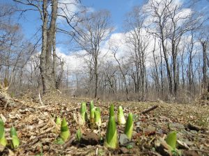 4月下旬のバイケイソウの芽吹き