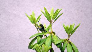 親鳥が庭木の周りで採餌する頻度がましました