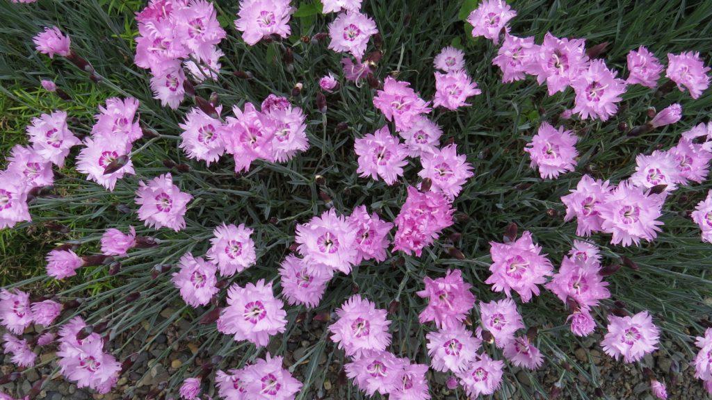 ピンクが鮮やかなナデシコなんだろうけど園芸名は?