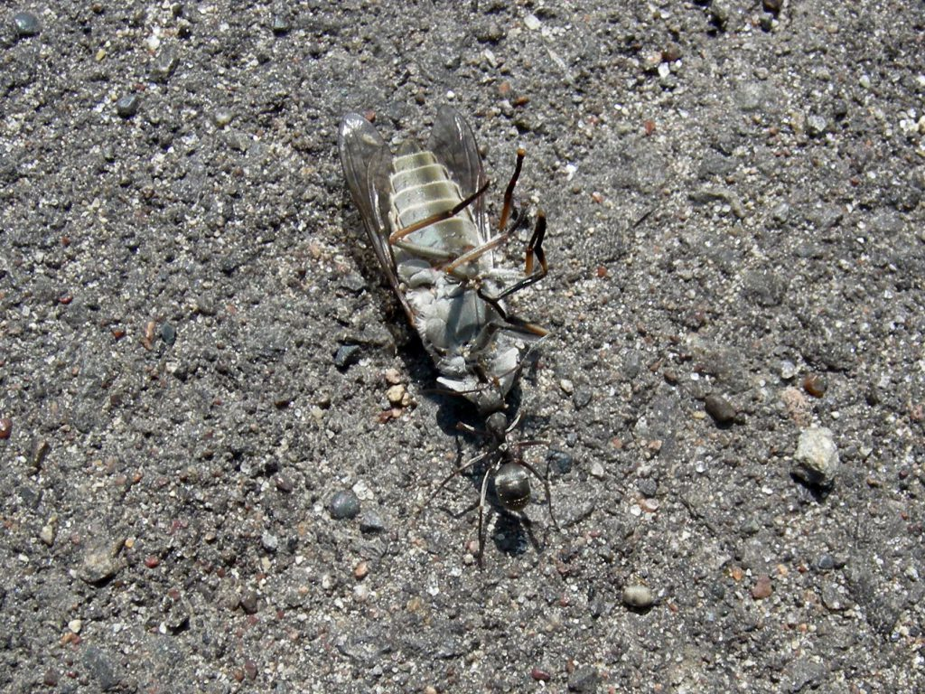 アリがアブを一所懸命引きずって…