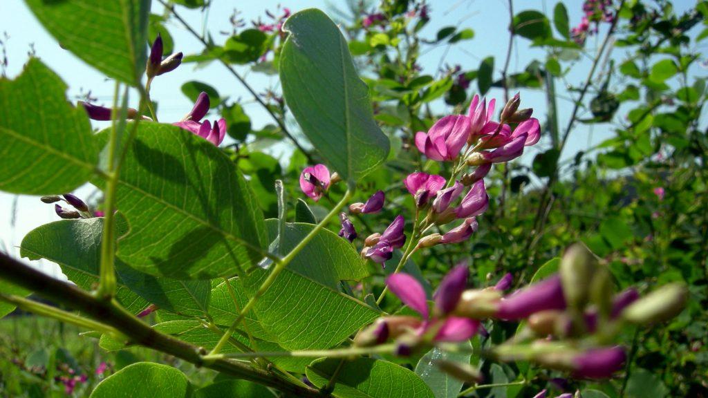 快晴の空にエゾヤマハギが伸びていきます