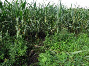 道路から畑に入り込んだ跡は数箇所