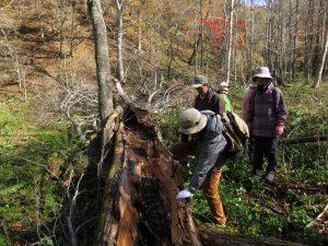 倒れたカツラは中が空洞で、天然丸木舟状態