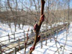 冬芽の観察も楽しいですね